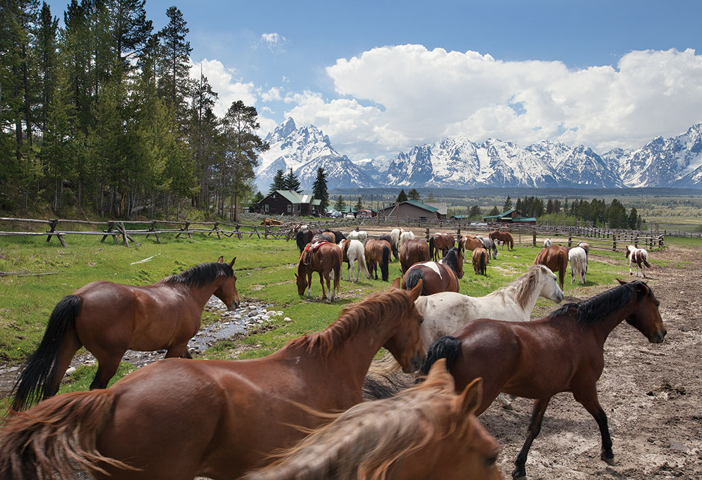 Horses at the Triangle X Ranch, a historic dude ranch in Grand Teton National Park, wait to be saddled for the day's ride. The ranch celebrates its ninetieth anniversary this year.