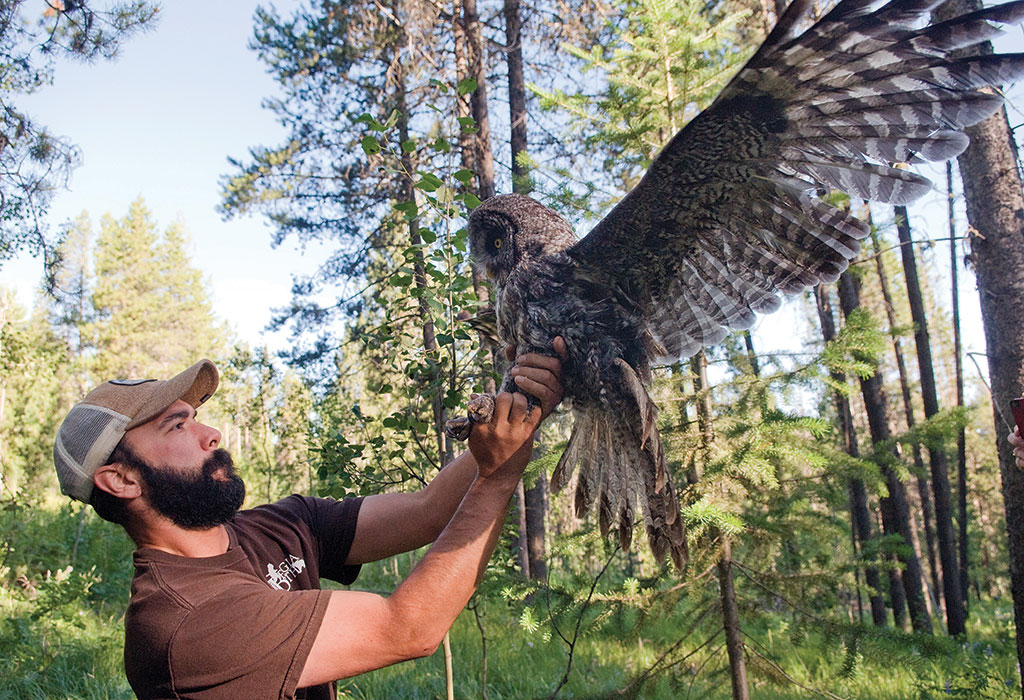 Bryan Bedrosian of the Teton Raptor Center lets a captured great gray owl spread its wings so a newly attached tracking device will work into its feathers. Photograph by Bradly J. Boner