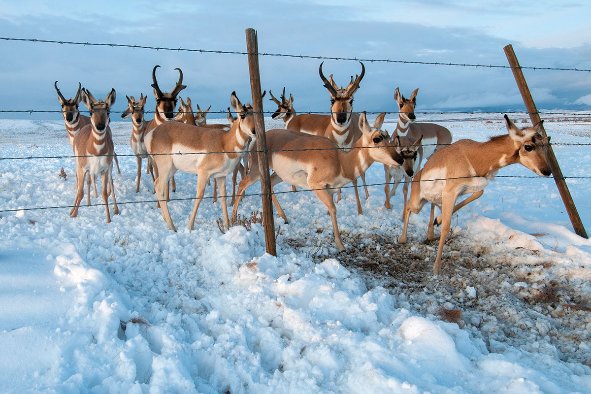 Migrating pronghorn antelope are seen in western Wyoming at a fence crossing. Wildlife biologists have worked with landowners to create more wildlife-friendly fences and road crossings that make it easier for ungulates to navigate.